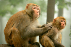 Monkey—mother & Baby Stock Photos