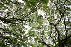Monkeypod树 库存照片