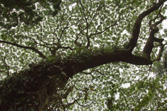 Monkeypod drzewo Zdjęcie Stock