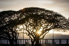 Monkeypod träd på den norr kusten av den Oahu ön Royaltyfri Bild