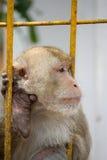 Monkeys портрет Стоковые Фото