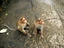 Monkeys. On a rock inside a forest in kerala, india stock photography