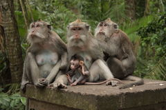 Monkeys. Indonesia. Wood of monkeys on Bali island royalty free stock image