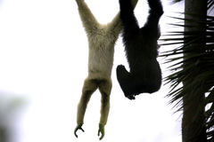 Monkeys. Two monkeys swinging side by side at the zoo Stock Image