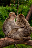 Monkeys. Two large Barbary macaque monkeys / apes sit hugging on a large tree branch in the heart of the Staffordshire Countryside, England stock photo