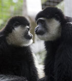 Monkeys. Two monkeys looking at different directions royalty free stock photography