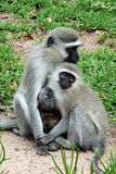 Monkeys. Two monkeys sitting together in a grassy area outdoors royalty free stock photography