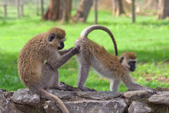 Monkeys Royalty Free Stock Photography