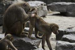 Monkeys Royalty Free Stock Photography