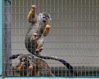 Monkeys. Common squirrel monkey (Saimiri sciureus Royalty Free Stock Photo