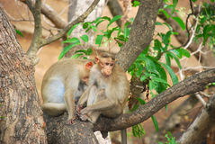 Monkeys. Two monkeys playing on a tree royalty free stock photography