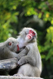 Monkeys Royalty Free Stock Photos