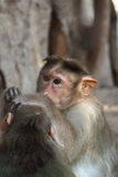 Monkeys. Monkey take care of an other Stock Photo