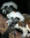 Monkeys. A pair of monkeys stock image