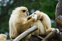 Monkeys. Two monkeys cleaning each other Stock Photography