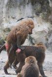 Monkeys. Mating Ethiopian monkeys at the zoo Royalty Free Stock Image