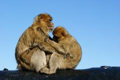 Monkeys Royalty Free Stock Photos