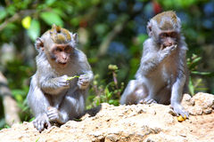 Monkeys. Animals in forest Stock Images