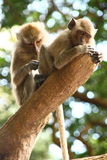 Monkeys. Adult monkeys grooming in a tree in Thailand Stock Images