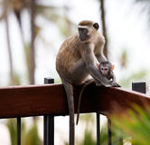 Monkeys in Africa Stock Photography