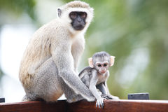 Monkeys in Africa Stock Images