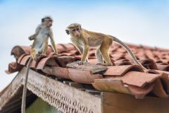 Monkeys are on the ancient Buddhist temple in Sri Lanka Stock Photography