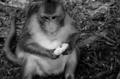 Monkeys Royalty Free Stock Image
