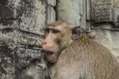 Monkeys in Angkor Wat Cambodia Royalty Free Stock Image