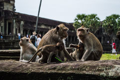 Monkeys at Angkor Wat in Cambodia`s Siem Reap Region Stock Photo