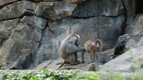 Monkeys, apes on rocks stock video