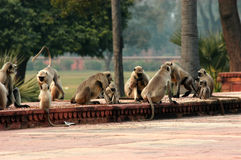 Monkeys around Agra Palace. Scenary of monkeys around a palace in the Agra area Royalty Free Stock Photos