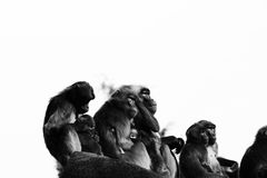 Monkeys,baboons a lot of families animal BACKGROUND Royalty Free Stock Photos