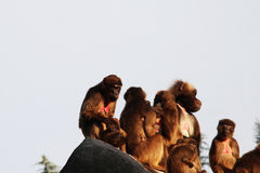 Monkeys,baboons a lot of families animal BACKGROUND Stock Image