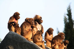 Monkeys,baboons a lot of families animal BACKGROUND Stock Photo