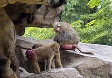 Monkeys baboons Stock Photos