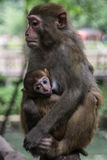 Monkeys: baby and mother. Zhangjiajie, Hunan, China. (circa July 2013 Stock Images