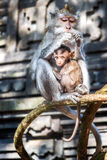 Monkeys, Bali, Indonesia. Monkeys in the Sacred Forest Sanctuary, Bali, Indonesia Stock Photo