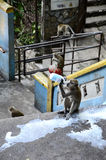 Monkeys at Batu Caves Royalty Free Stock Images
