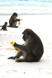 Monkeys on beach. Monkeys eating bananas on Monkey Beach in Thailand royalty free stock images