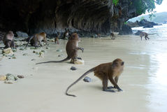 Monkeys on the beach Royalty Free Stock Images