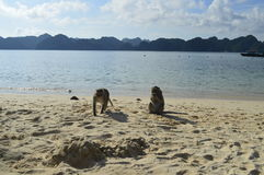 Monkeys on a beach. Monkeys at Monkey Island, Halong Bay , Vietnam royalty free stock photo