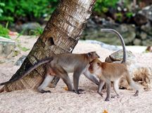 Monkeys on a beach Stock Photos