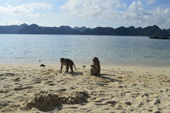 Monkeys on a beach. Two monkeys are eating on the beach in the Halong bay, Monkey Island , Vietnam royalty free stock photography
