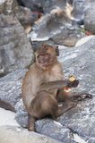 Monkeys on the beaches of Thailand. Monkey eating on the beach Royalty Free Stock Image