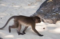 Monkeys on the beaches of Thailand. Monkey walking on the beach Stock Photography