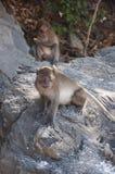 Monkeys on the beaches of Thailand Royalty Free Stock Photos