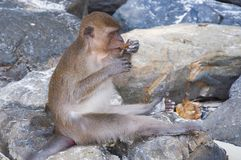 Monkeys on the beaches of Thailand. Monkeys on the rocks on the beach and eat Stock Images