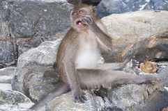 Monkeys on the beaches of Thailand. Monkeys on the rocks on the beach and eat papaya Royalty Free Stock Images