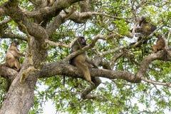 Monkeys on big tree in Kruger National Park stock images