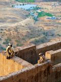 Monkeys at the top of the city of Pushkar, India royalty free stock images